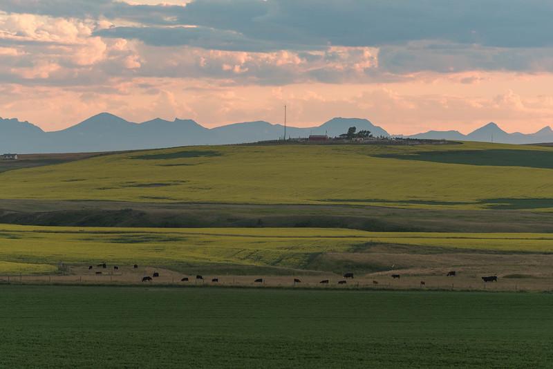 Canola near Magrath