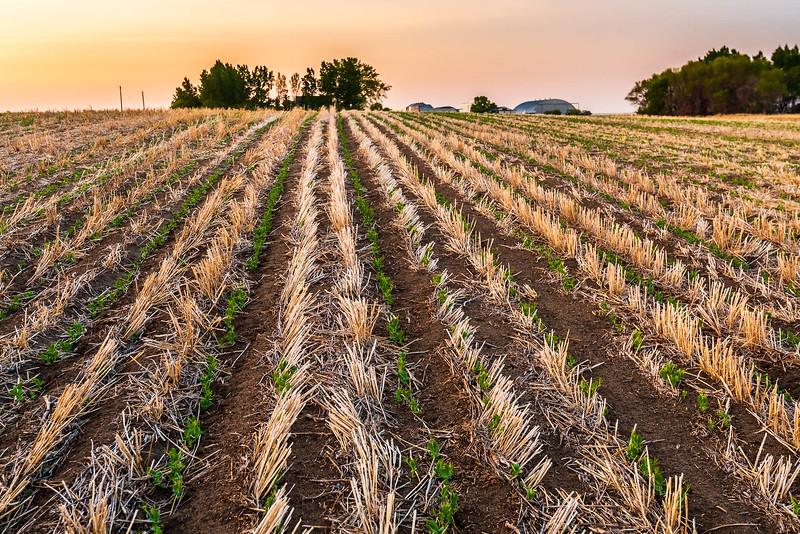 Field Pea Rising - Carmangay