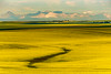 Mountain View Canola