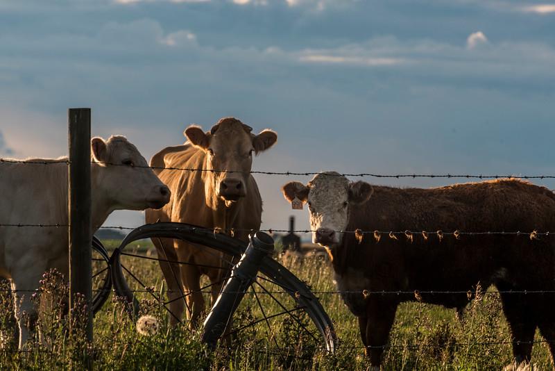 Cow scratchers