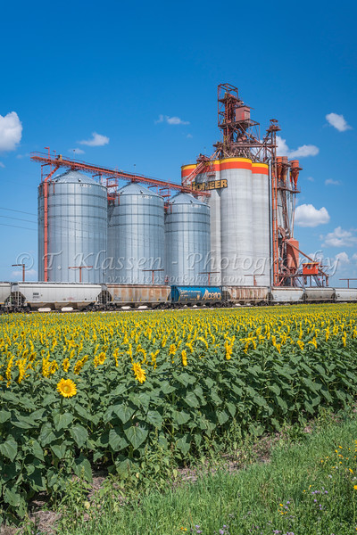 A Pioneer Grain inland grain handling terminal and a blooming sunflower field near Brunkild, Manitoba, Canada.