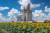 A Pioneer Grain inland grain handling terminal and a blooming sunflower field near Brunkild, Manitoba, Canada.