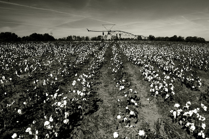 Cotton field, Morgan County (GA). 2007