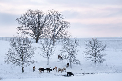 Cattle in Fresh Snow