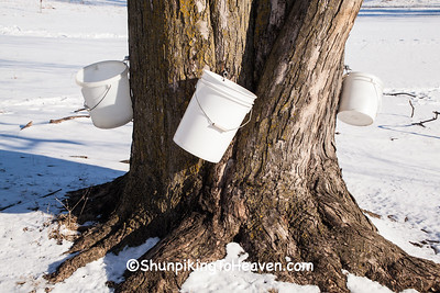 Maple Sap Collecting, Green Lake County, Wisconsin