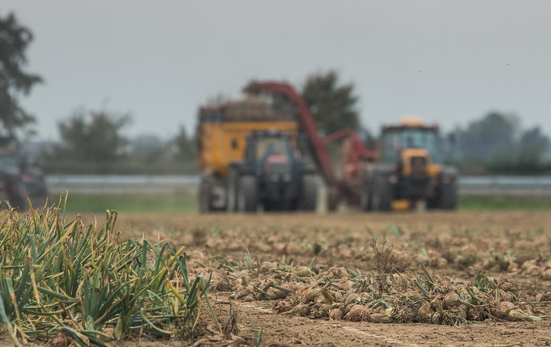 JCB Fastrac 155-65 hauling a Grimme DL 1500 potato harvester and a Valtra tractor harvesting onions.