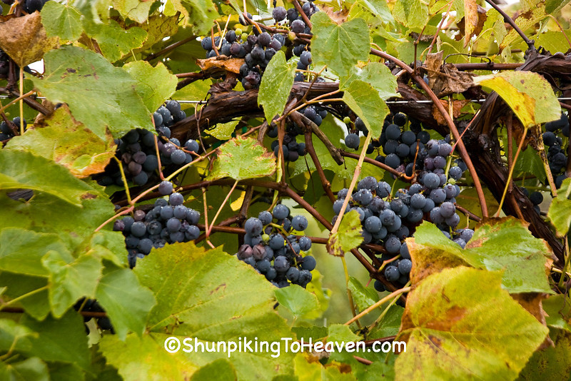 Grapes on the Vine in the Rain, Crawford County, Wisconsin