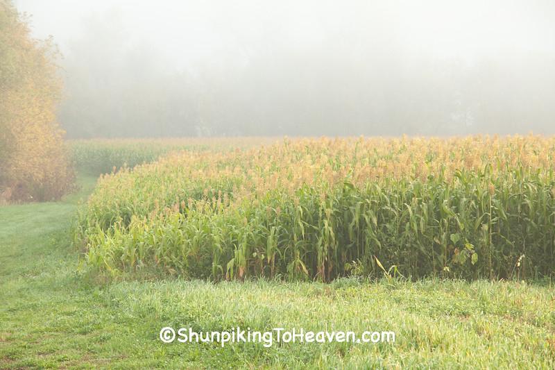 Sorghum Field in Morning Fog, La Crosse County, Wisconsin