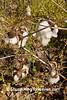 Cotton Bolls, Harnett County, North Carolina