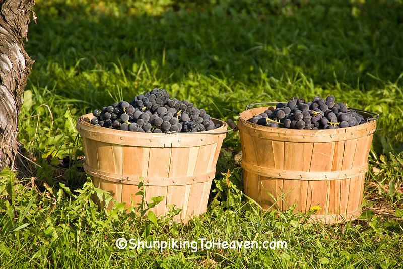 Grape Harvest, Richland County, Wisconsin