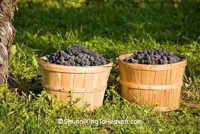 Grape Harvest, Richland County, Wisconsin
