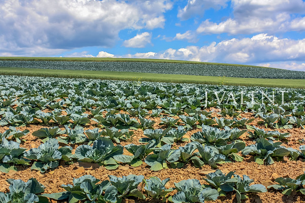 Pennsylvania Agriculture, Crop Rotation - Cabbage & Oats