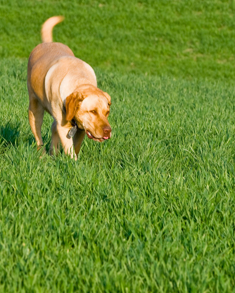 Farm dog plays in a young wheat field