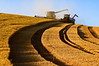 A combine harvests grain while unloading on the to to a grain cart pulled by a tractor on the hills of the Palouse region of Washington late in the afternoon