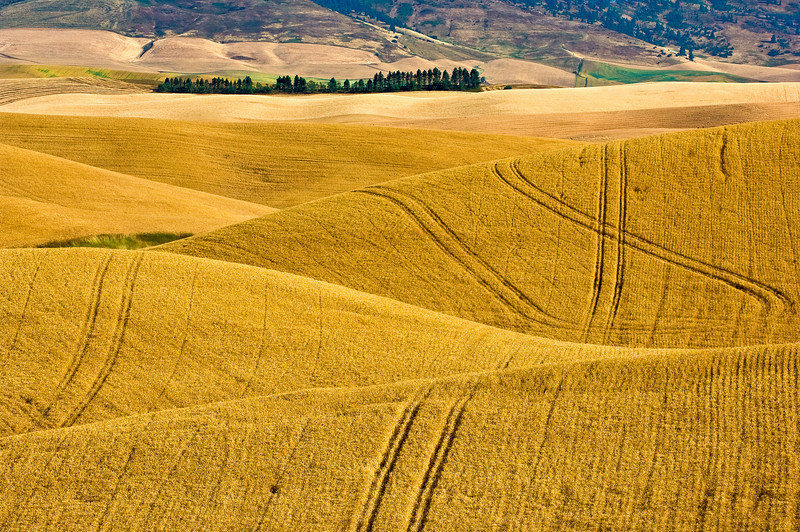 Mature wheat on the hills of the Palouse region of Washington