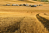 Trucks line up waiting to be loaded with harvested grain in the Palouse region of Washington