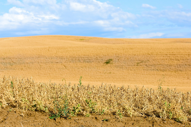 Mature dry peas nearing harvest time in the Palouse region of Washington