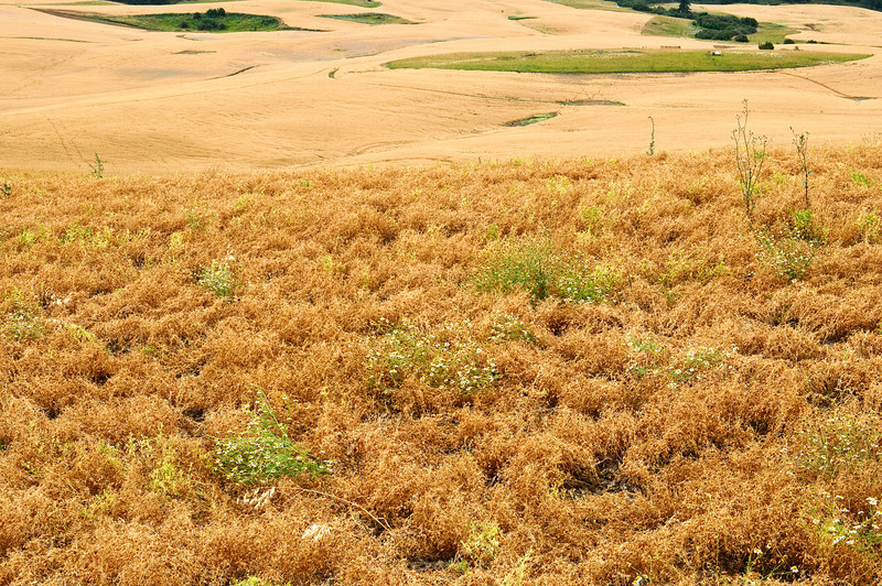 Field of mature lentils in the Palouse region of Washington