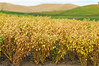 Mature garbanzo beans nearing harvest time in the Palouse region of Washington