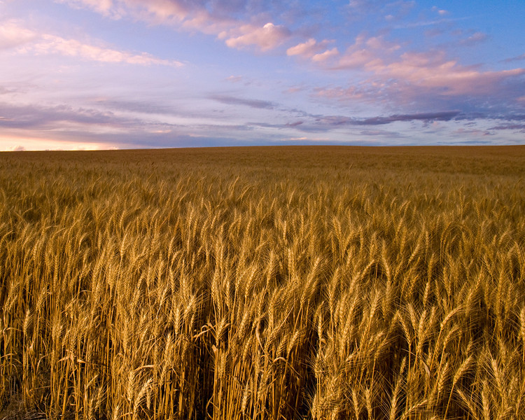 Stands of mature wheat at dusk in the Palouse region of Washington