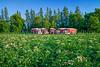 Red trucks in a potato field near Winkler, Manitoba, Canada.