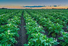 A blooming potato field at sunset near Winkler, Manitoba, Canada.
