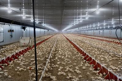The Chicken Barn - Day 7