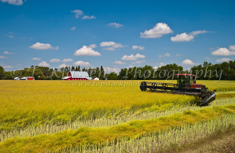 Swathing a ripe canola field near Swan Lake, Manitoba, Canada.