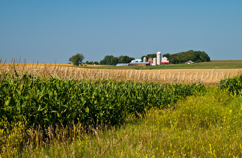 A dairy farm and corn field in rural Minnesota near Alexandria, USA, America.