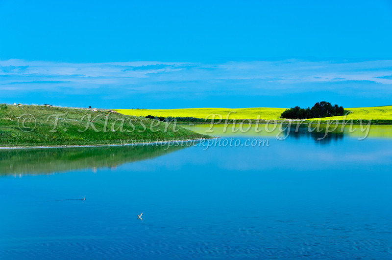 A prairie pond and canola field in southern Saskatchewan, Canada.