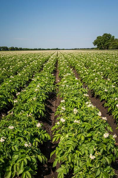 A blooming potato field near Winkler, Manitoba, Canada.