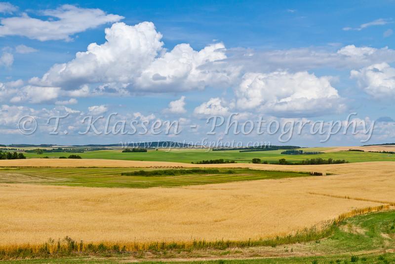 Ripe prairie wheat fields near Bruxelles, Manitoba, Canada.