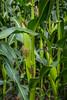A closeup of a corn cob head in a field near Neubergthal, Manitoba, Canada.