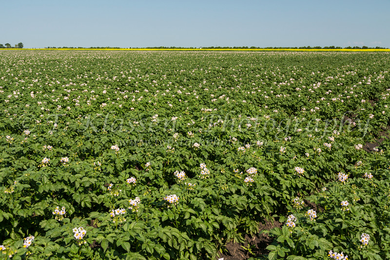 A blooming potato field near Winkler, Manitoba, Canada.