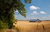 An old barn and ripe grain field near Holland, Manitoba, Canada.