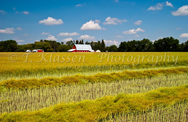 A ripe canola field being swathed near Swan Lake, Manitoba, Canada.
