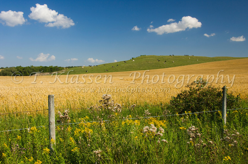 A field of ripe wheat with cows grazing on a hillside near Holland, Manitoba, Canada.