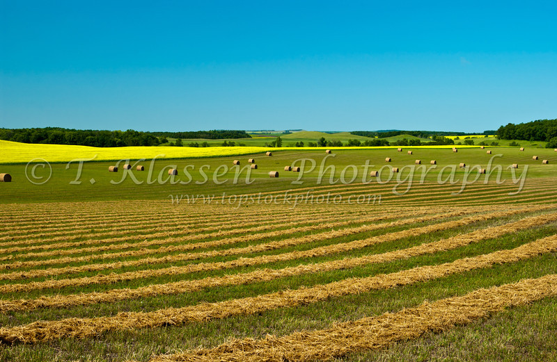 Yellow canola field with swathed grain field and hay bales in rural southern, Manitoba, Canada.