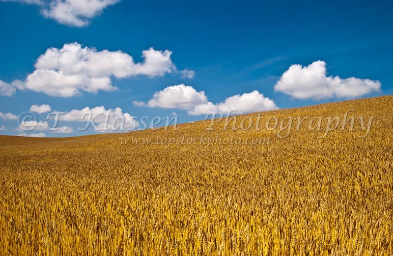 A ripe wheat field near Bruxelles, Manitoba, Canada.