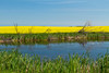 A yellow blooming canola field and a small pond in rural Saskatchewan, Canada.
