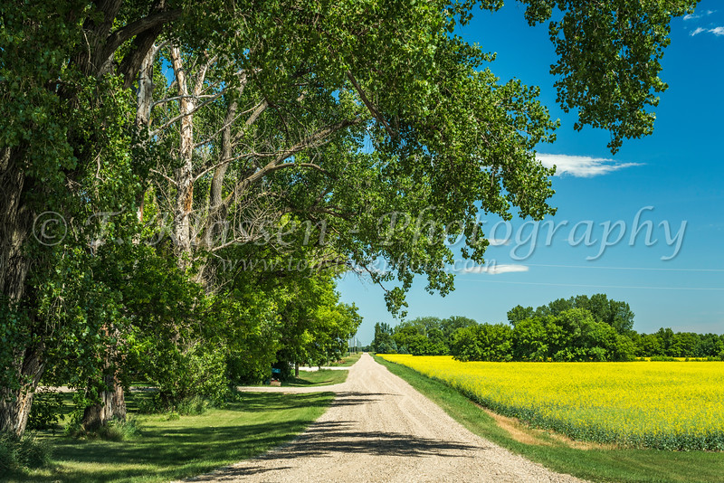 A rural road with a canola field near Osterwick, Manitoba, Canada.