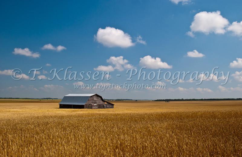 Barn and ripe grain field near Holland, Manitoba, Canada.