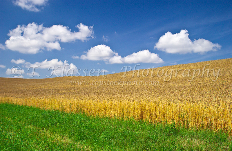 A ripening wheat field near Holland, Manitoba, Canada.