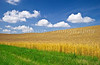A ripening wheat field near Holland, Manitoba, Canada.