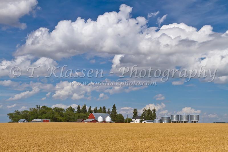 A grain farm, red barn and storage bins with a ripe wheat field near Swan Lake, Manitoba, Canada.