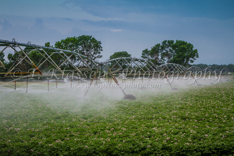 Water irrigation on a field of blooming potatoes near Carberry, Manitoba, Canada.