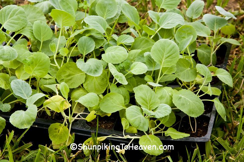 Broccoli Seedlings, Dane County, Wisconsin