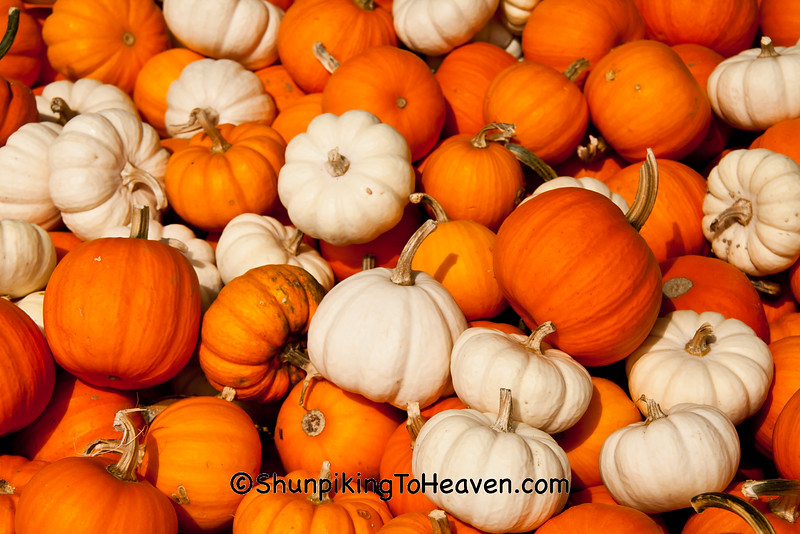 Mini Pumpkins, West Ridge Orchard, Crawford County, Wisconsin