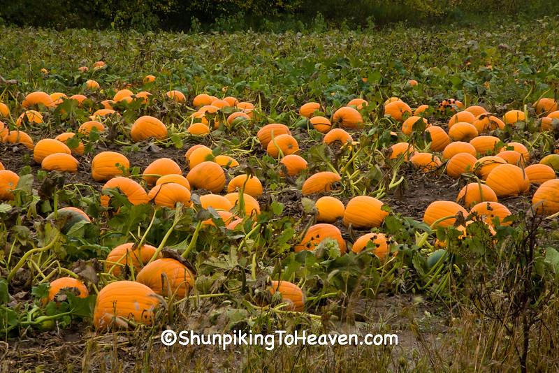 Pumpkin Patch, Winona County, Minnesota