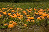 Pumpkin Patch, Winona County, Minnesota